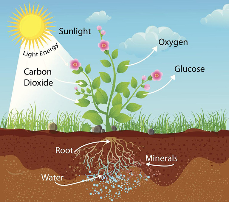 How photosynthesis works.