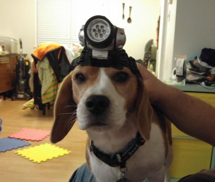 Dog with headlamp
