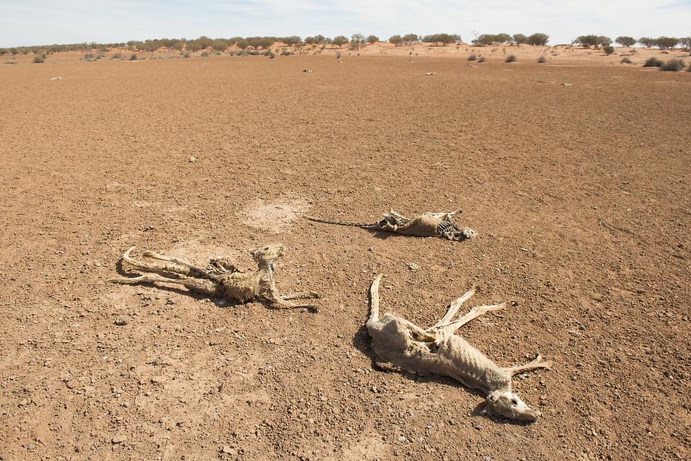 kangourous morts australie koalas détails inondations mousson pluies sécheresse dérèglement climatiques