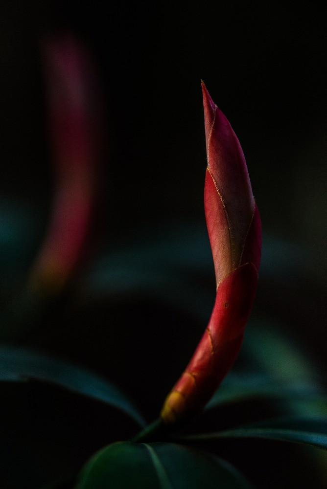 タブノキの新芽 / New buds of machilus thunbergii