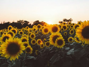 A field of thousands of Sunflowers like a Universe with millions of Suns following one unique point