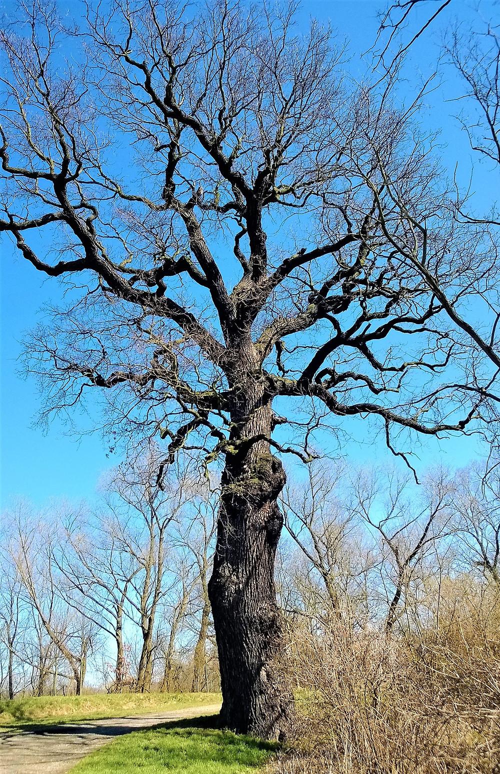 Památný strom Hromův dub