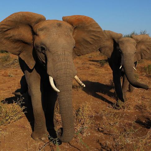 China Shuts Down Its Legal Ivory Trade -- FINALLY!