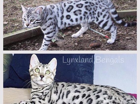 silver bengal cat lynxland.jpg