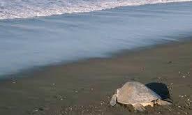 J'ai testé pour vous : Mission sauvetage des tortues à Osa