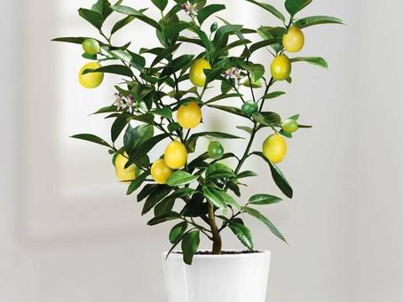 When Life Gives You Lemons....