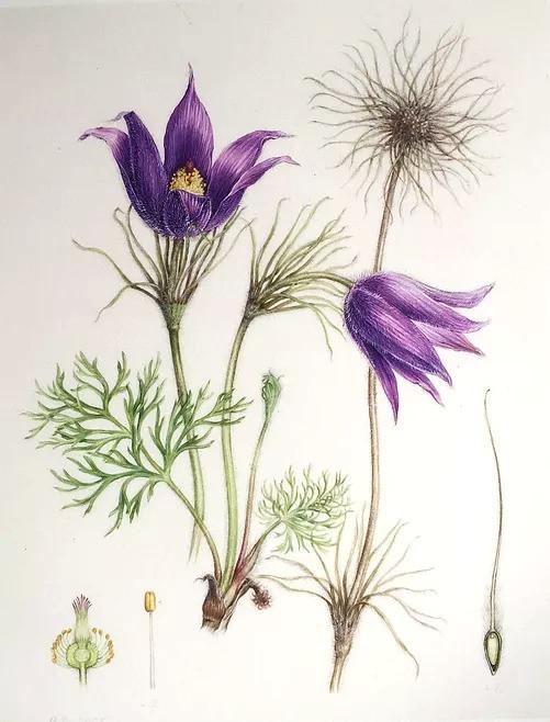 Fleur de Pulsatilla dessin