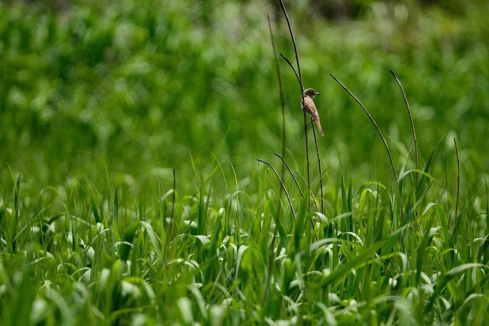 ヨシ原のオオヨシキリ / Oriental reed warbler in reed bed