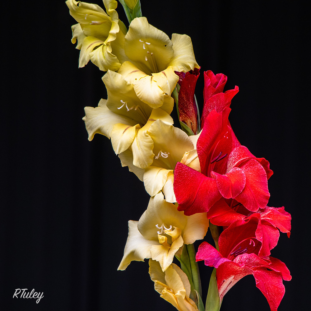 Gladiolas -- manual settings exposing for the flowers. Gladiolas don't stand well so these were cut and placed in a wine bottle for this image.