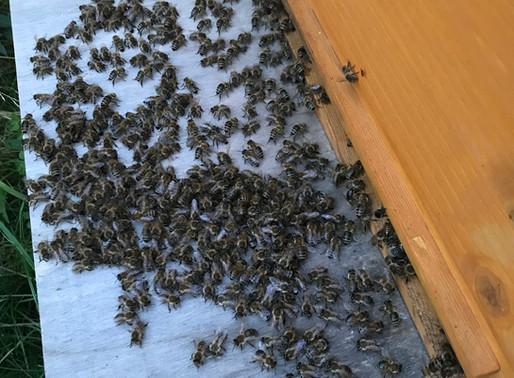 """Meine Bienen """"hängen"""" abends vor der Beute rum!"""