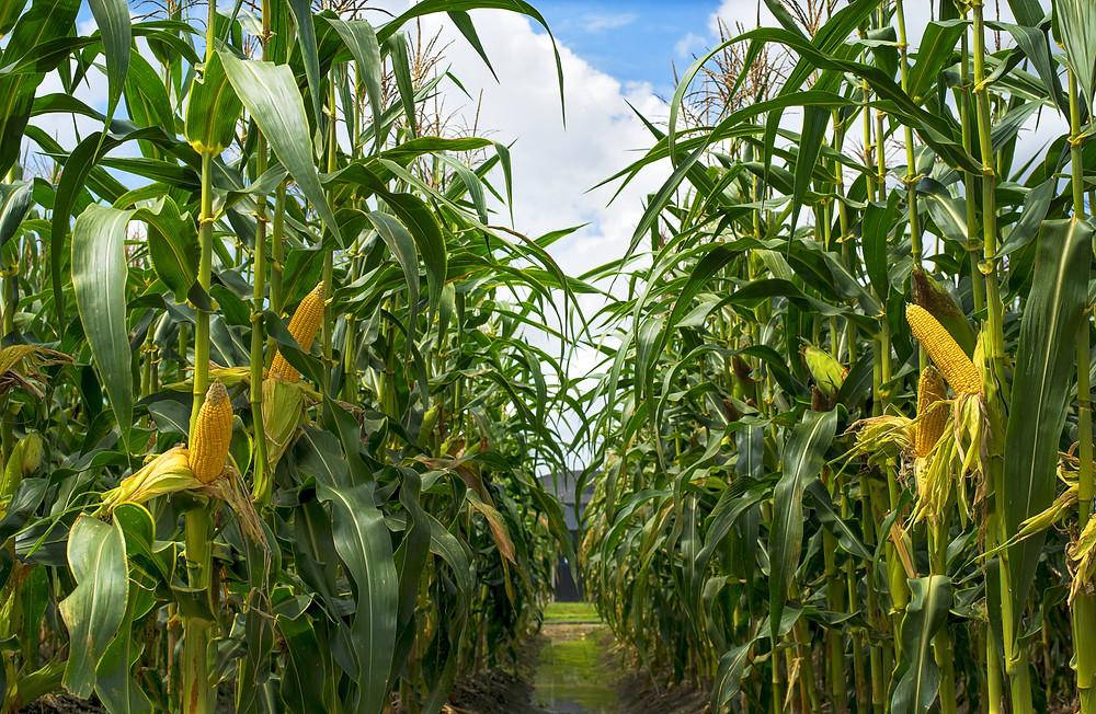 champ de maïs, agriculture, alimentation