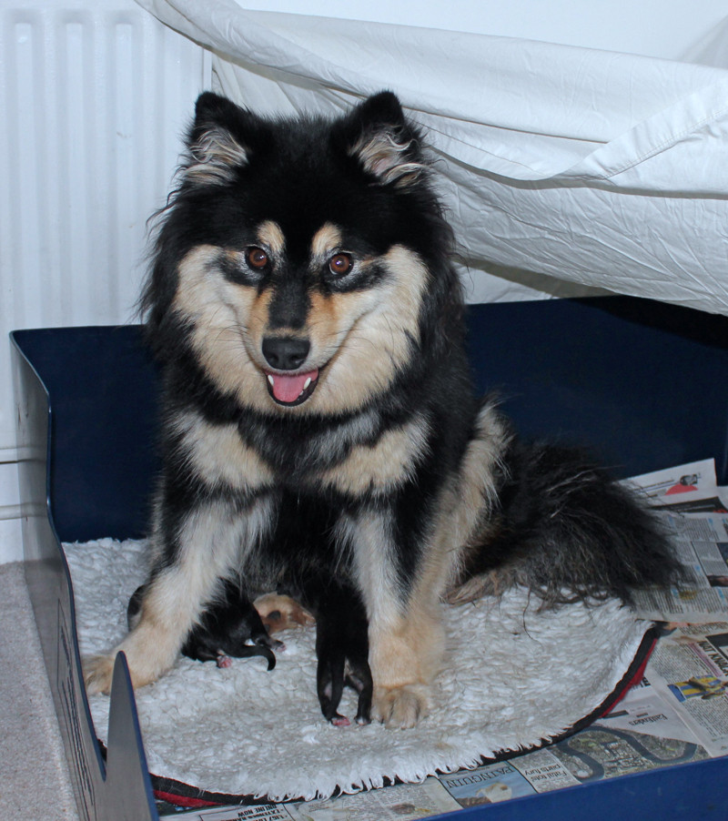 Black tan and white Finnish Lapphund bitch with 3 newborn wolf sable puppies in their whelping box with a white sheet canopy to make a comforting den