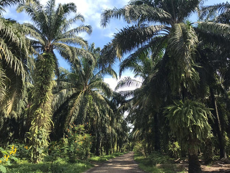Cultivating African palm is no longer considered high environmental impact