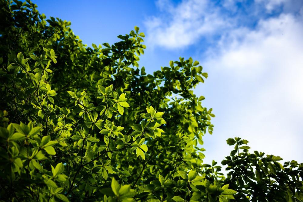 新緑と青空 / Young leaves and blue sky