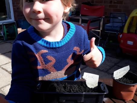 Planting peas. Wilfred Nursery