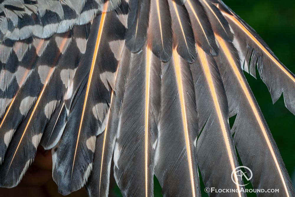 HY male Northern Flicker intergrade - open wing