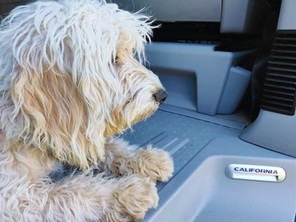 Dogs in a VW California