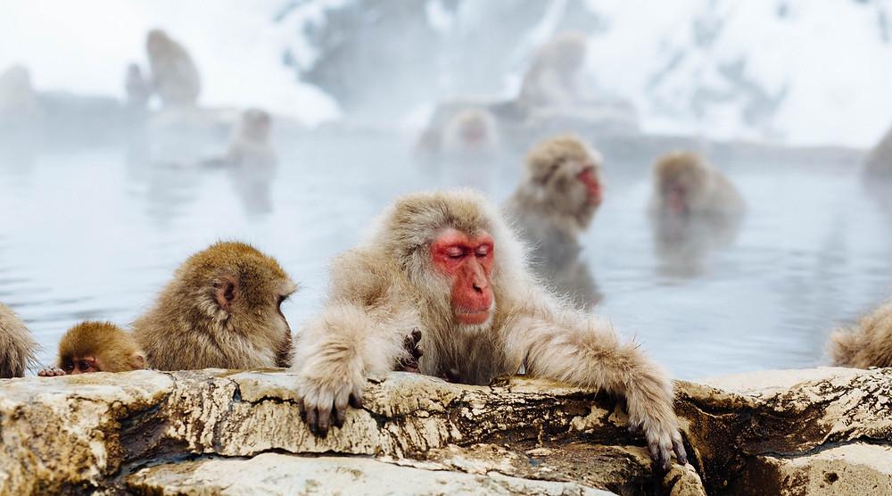 Macacos da neve japoneses aproveitando as águas termais