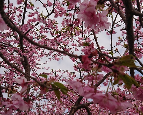 美和桜まつり🌸満開