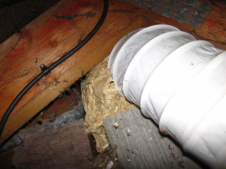 Wasp Nest in Extractor Hose