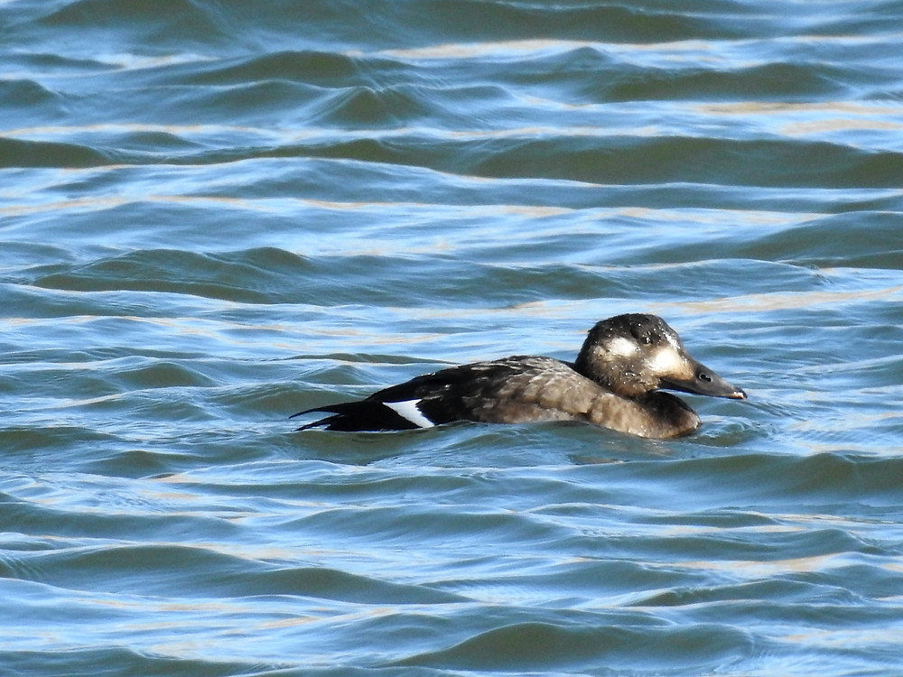 Possible Stejneger's Scoter in Wyoming (female-type)