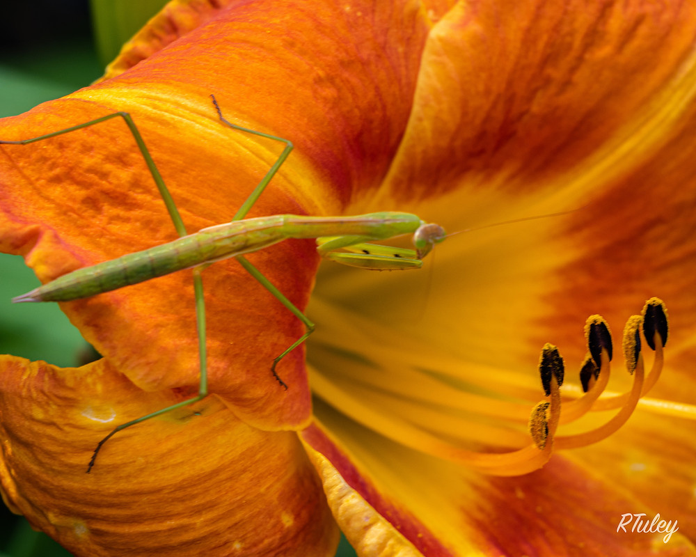 Caught this praying mantis early looking for a meal on one of our day lilies