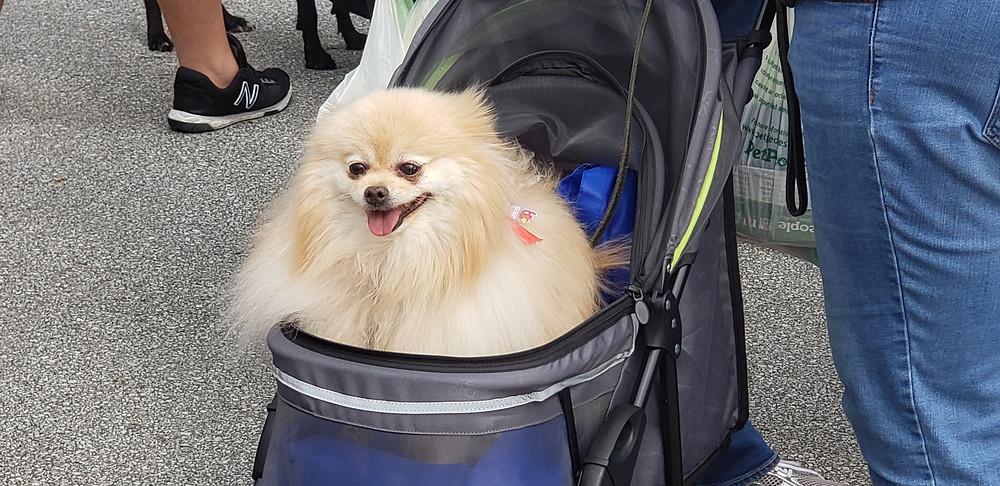 Cream Pomeranian in stroller