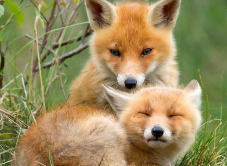 Alternatives écologiques - Lyme et le renard