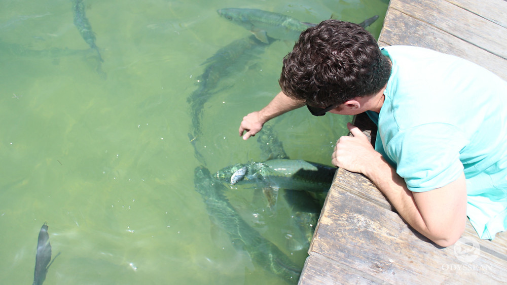 Travel advisor dropping food into the water to hand feed tarpon in the Florida Keys