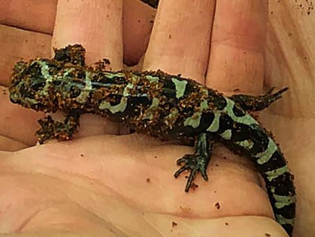 Wildlife Wednesdays: Salamanders and Newts