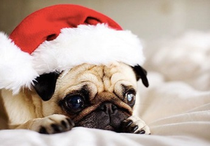 Pug with santa hat