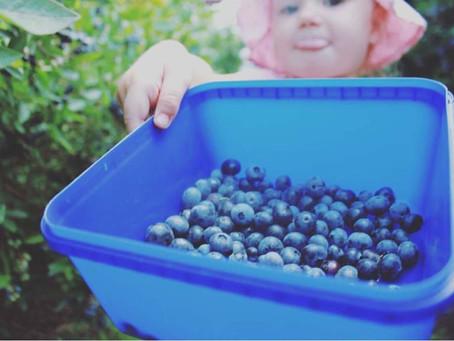 終於到了水果採摘季,美味藍莓在等你