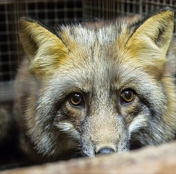"""Tidligere topchef i pelsindustrien: Pels er """"barbarisk"""" og """"unødvendigt"""""""