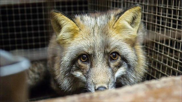 En ræv sidder i et trådbur.