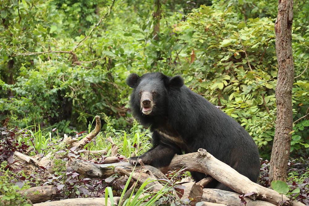 This bear is missing his front left leg as he was snared by a poacher in the forests of Cambodia.