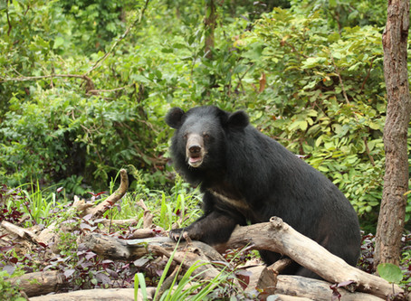 The Animal Welfare Anomaly - why the illegal trade in bears is winning.