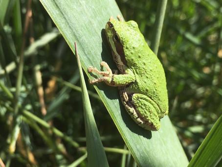Rescuing lost amphibians