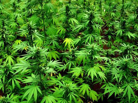 Treat the legalization of marijuana with care