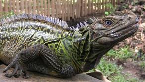 Sailfin Dragon (Hydrosaurus pustulatus)