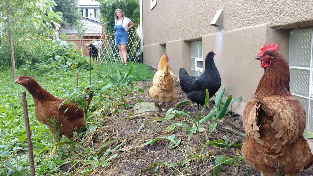 Backyard chickents