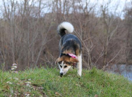 La communication olfactive chez le chien