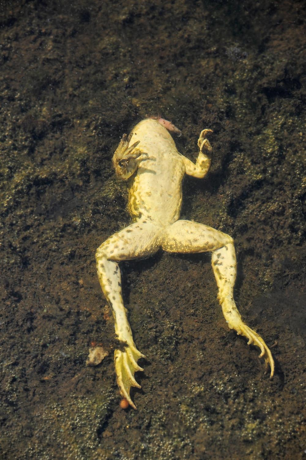 amphibien , grenouille morte