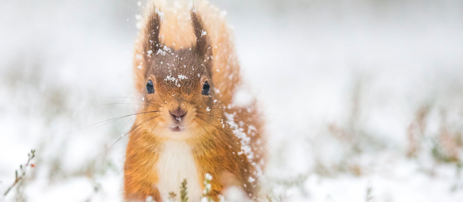 Squirrel Wins Place On RSPB Calendar