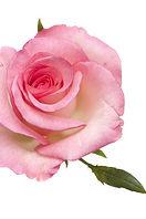 Single rose on white SMALL.jpg