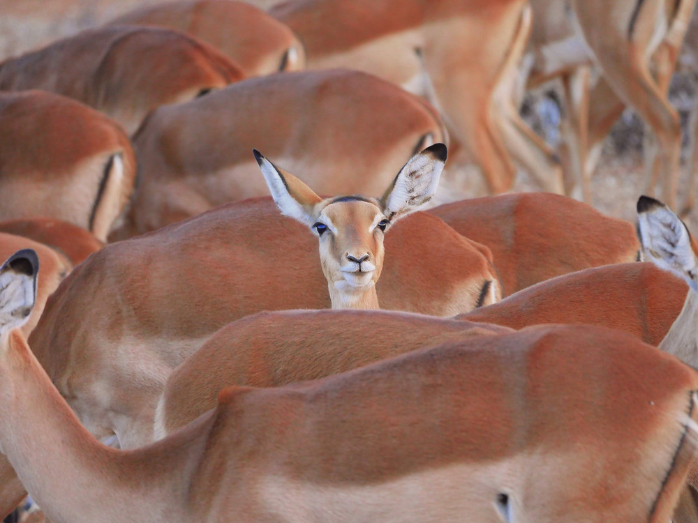 Use those ears when writing and editing! A picture of a cute antelope looking straight at the camera with big ears.