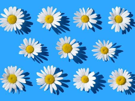 Soaking Up Spring   Fresh as a Daisy