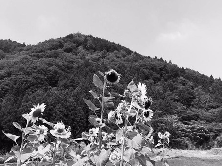 Poetry on Sunday: Sunflowers