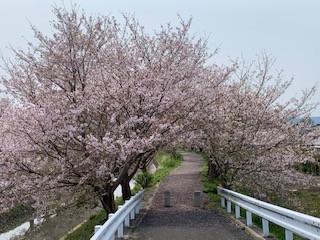 今年の桜🌸