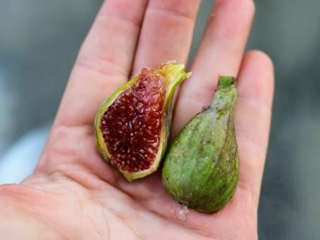 My Best Tasting Varieties of Figs