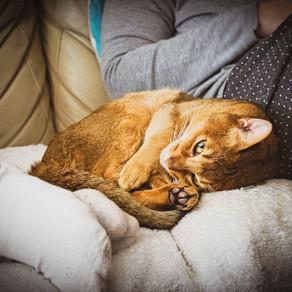 Coronavirus e i Felini: a rischio la sopravvivenza di alcune specie